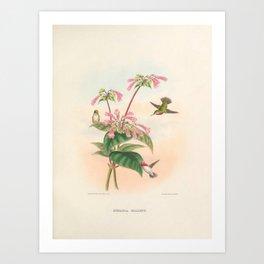 023 Calliope Hummingbird stellula calliope4 Art Print