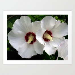 White Hibiscus Working Together Art Print