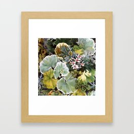 Geraniums Galore Framed Art Print