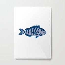 Sheepshead Fish Isolated Retro Metal Print