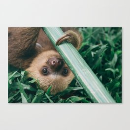 Baby Sloth Playing Canvas Print