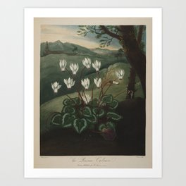 Pether, Abraham (1756-1812) - The Temple of Flora 1807 - Persian Cyclamen Art Print