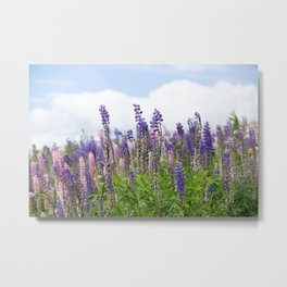 Hundreds of lupines Metal Print