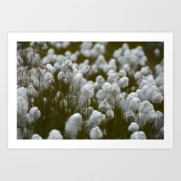 Close up of wild cotton in the field Art Print