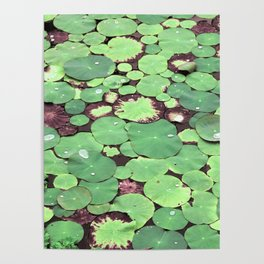 Nymphaeaceae Poster