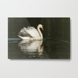 Wildlife swan suns out wings out Metal Print