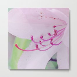 Purple rhododendron Metal Print