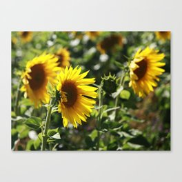 The German Sunflower Canvas Print