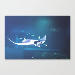 Manta Ray at Osaka Aquarium, Japan Canvas Print