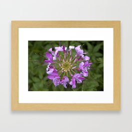 Cleome No. 19 Framed Art Print