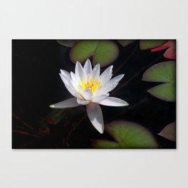The white nymphaea Canvas Print