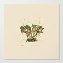 File:R. Warner & B.S. Williams - The Orchid Album - vol 01 - plate 005 Canvas Print