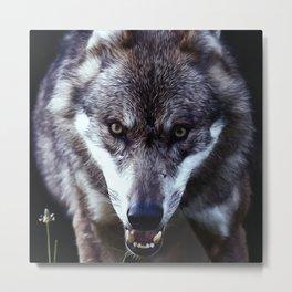 Wolf Predator European Metal Print