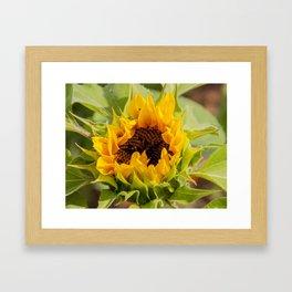 A Sunflower at Seven Oaks Lavender Farm Framed Art Print