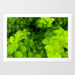 Buxus boxwood Art Print