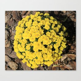 Bright Yellow Fall Mums Canvas Print