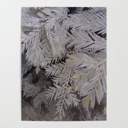 Albino redwood tree Poster