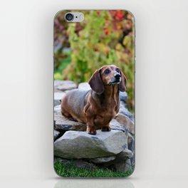 Autumn Dachshund iPhone Skin