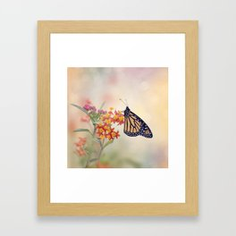 Monarch Butterfly  feeding on Tropical milkweed Framed Art Print