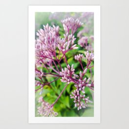 Joe Pye Buds Close Up Art Print