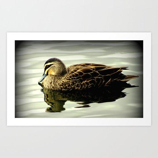 Pacific Black Duck (Anas superciliosa) Art Print