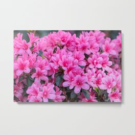pink azalea in the garden Metal Print