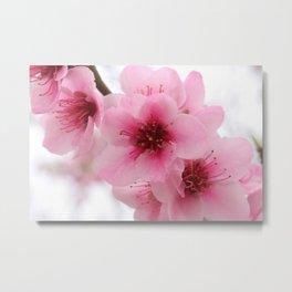 Pink Peach Tree Blossom Metal Print