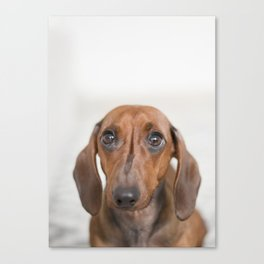 Hungry eyes for dachshund lovers Canvas Print