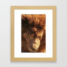 Lion from Above Framed Art Print