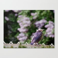 Baby Starling Canvas Print