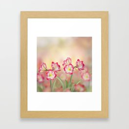 Red Amaryllis flowers blooming in the garden Framed Art Print