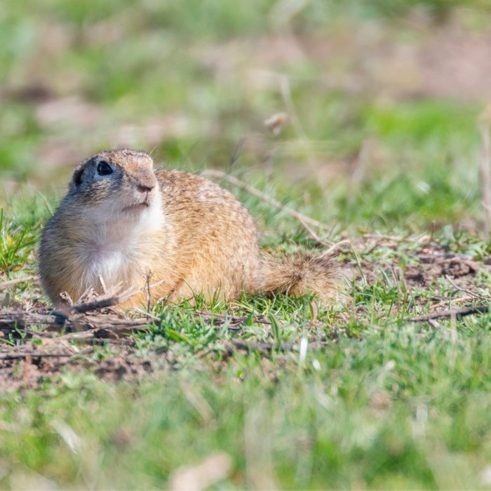 Souslik (Spermophilus citellus) European ground squirrel in the natural environment Comforters