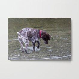 German Shorthaired Pointer Dog Metal Print