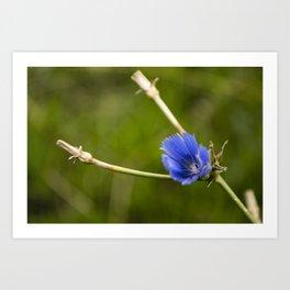 Chicory #2 Art Print