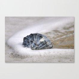 Atlantic Whelk  Canvas Print