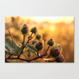 thistle with morning dew Canvas Print
