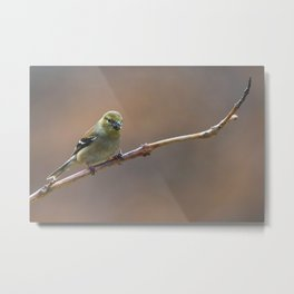 Early Spring Goldfinch Metal Print