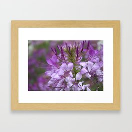 Cleome No. 27 Framed Art Print