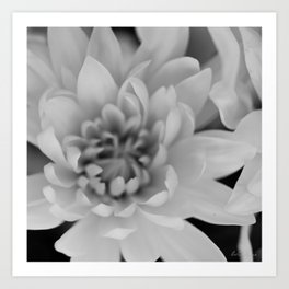 Chrysanthemum Flower in black and white - Floral Photography #Society6 Art Print