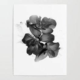 Black Geranium in White Poster
