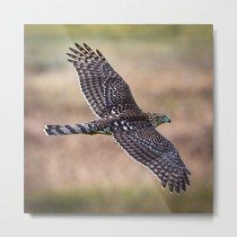 Cooper's Hawk In Flight Metal Print