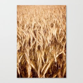 golden cereal grain ears on field Canvas Print