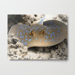 Blue Spotted Ray Metal Print