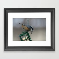 Red-breasted Nuthatch Framed Art Print