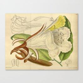 Baikiaea insignis, Fabaceae, Caesalpinioideae 1919 Canvas Print