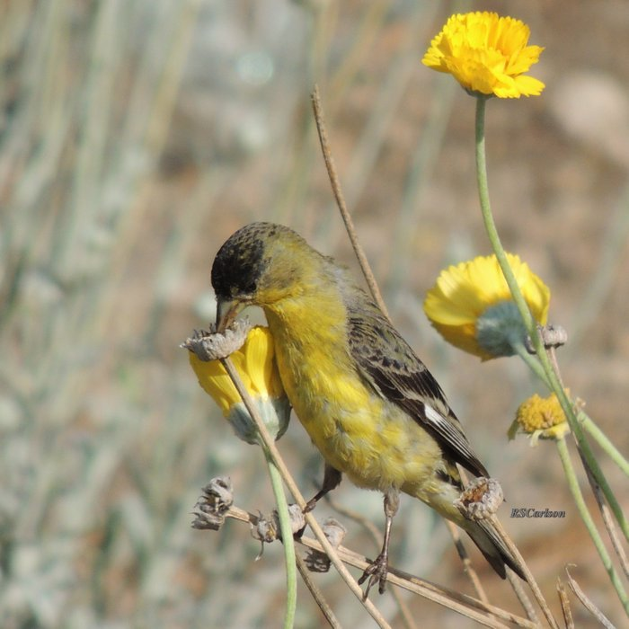 Mr. Lesser Goldfinch Feeds on Seeds Comforters