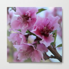 Peach Tree Blossom Close Up Metal Print