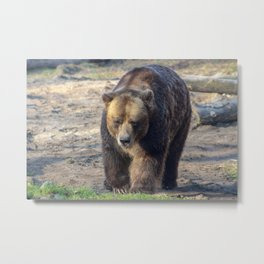 BROWN BEAR WALKING TOWARD CAMERA Metal Print