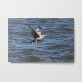 Immature Ring Billed Gull Metal Print