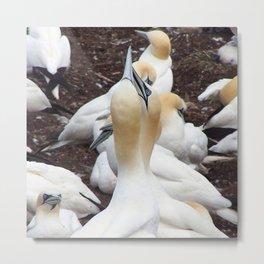 Northern gannet embrace Metal Print